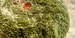 Green mold grows on a variety of surfaces.