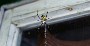 Spiders are frequently found near windows
